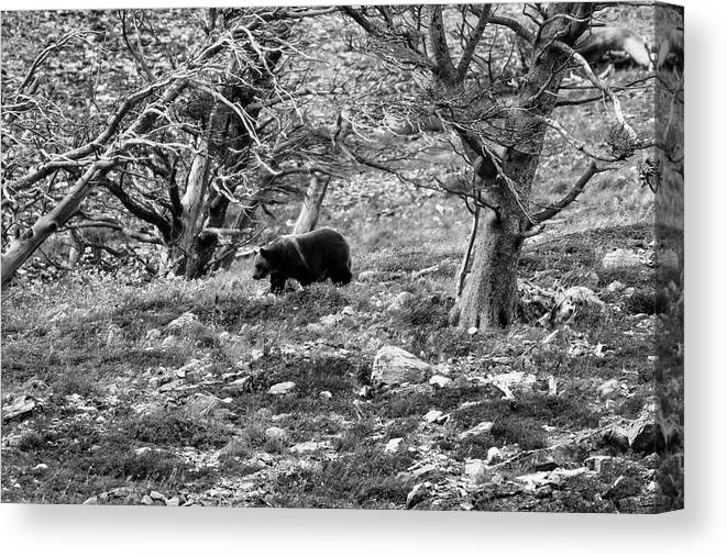 Glacier National Park Canvas Print featuring the photograph Grizzly Walking Through Dead Trees - Black And White by Mark Kiver