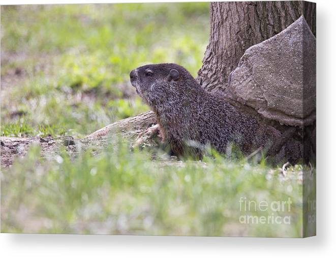 Groundhog Canvas Print featuring the photograph Groundhog by Twenty Two North Photography