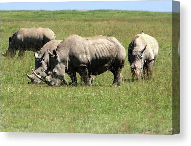 Kenya Canvas Print featuring the photograph Group Of White Rhino by Aidan Moran