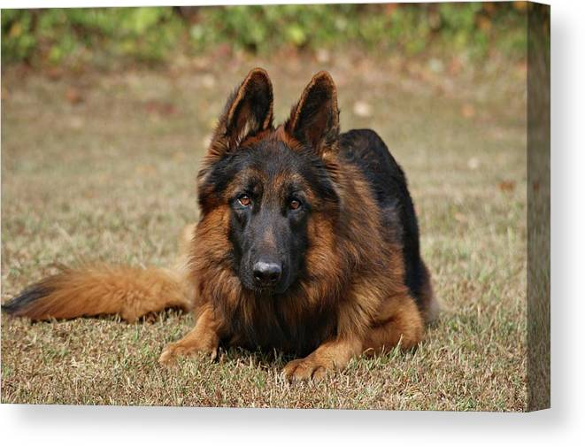 Dogs Canvas Print featuring the photograph Handsome Fella by Sandy Keeton