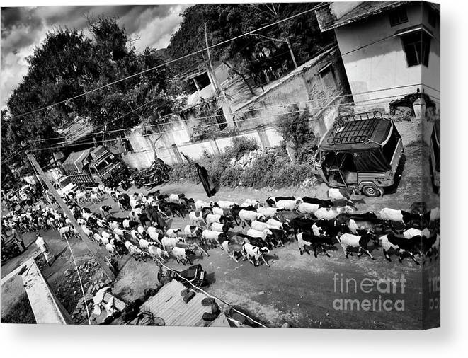 Herding Goats Canvas Print featuring the photograph Herding Goats by Tim Gainey