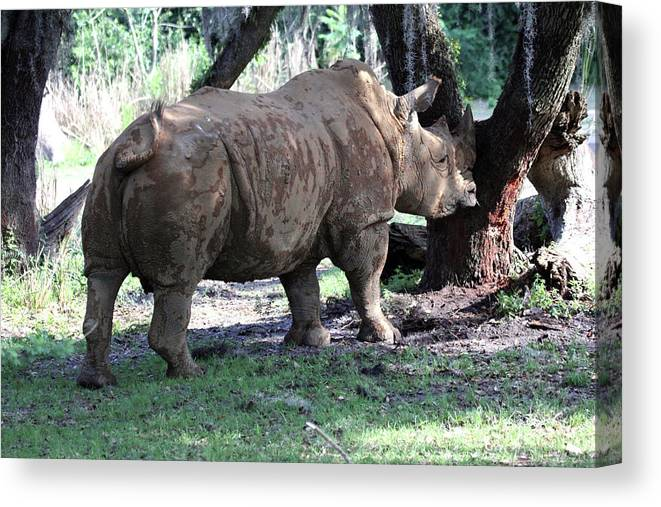 Rhinocerus Canvas Print featuring the photograph Horn Rubbing by Mary Haber