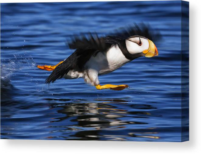 Southwest Alaska Canvas Print featuring the photograph Horned Puffin Fratercula Corniculata by Marion Owen
