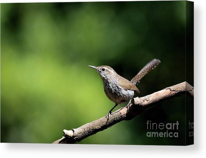 Bird Canvas Print featuring the photograph House Wren . 40d8055 by Wingsdomain Art and Photography
