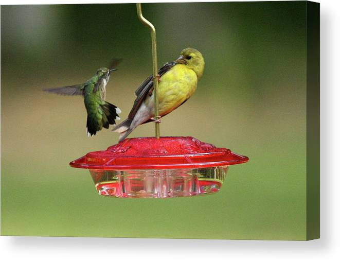 Bird Canvas Print featuring the photograph Hummer Vs. Finch 2 by Lou Ford