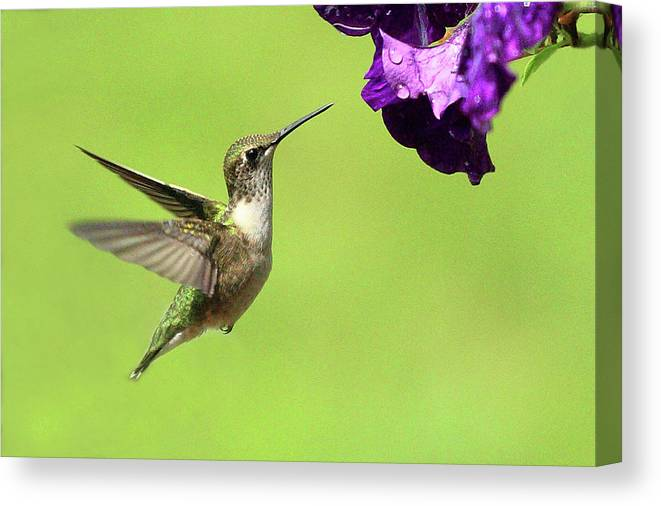Bird Canvas Print featuring the photograph Hummingbird by Lou Ford
