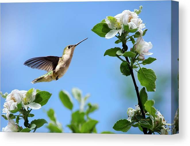 Hummingbird Canvas Print featuring the photograph Hummingbird Springtime by Christina Rollo
