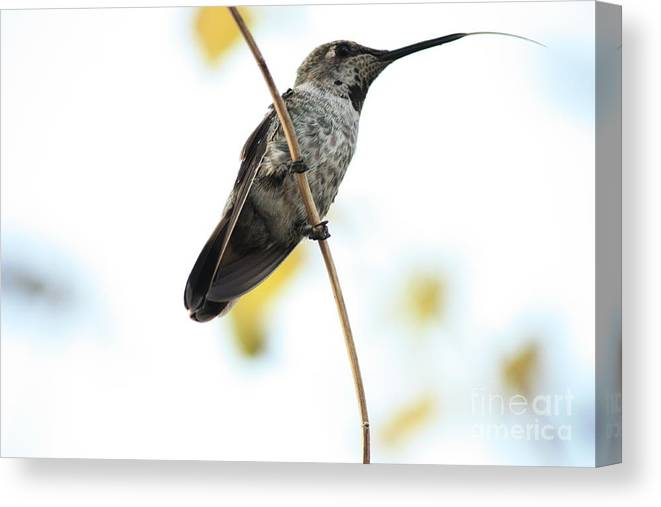 Hummingbird Canvas Print featuring the photograph Hummingbird Tongue by Carol Groenen