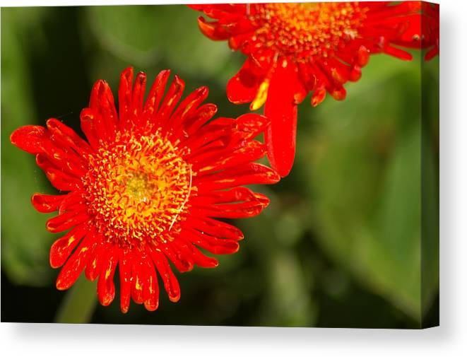 Flower Canvas Print featuring the photograph In Bloom by Don Prioleau
