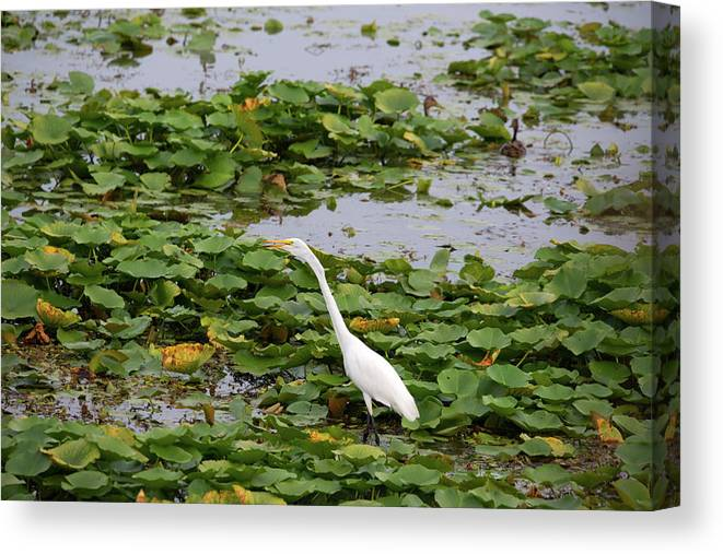 Great White Egret Canvas Print featuring the photograph In The Lily Pads by Linda Kerkau