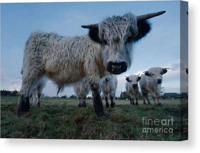 Animal Canvas Print featuring the photograph Inquisitive White High Park Cow by MSVRVisual Rawshutterbug