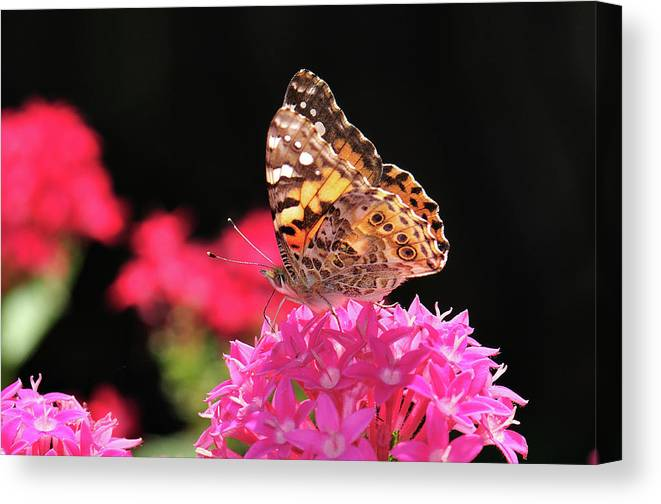 Butterfly Canvas Print featuring the photograph Irredescent by Betty LaRue