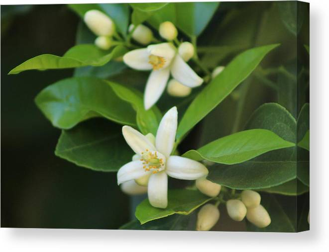 Ivory Grapefruit Blossoms Fine Art Photograph