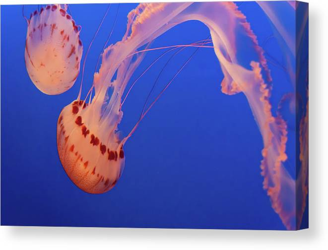 Aquariums Canvas Print featuring the photograph Jellyfishing by TM Schultze