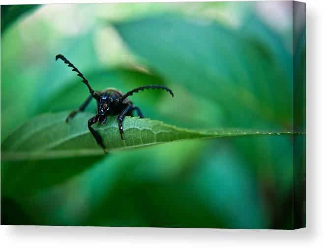 Beetle Canvas Print featuring the photograph Just Looking For Another Beetle by Douglas Barnett