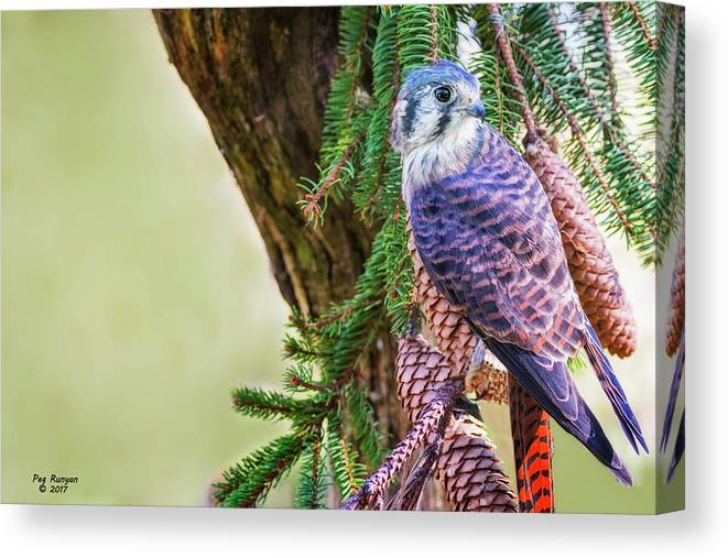 Kestrel Falcon Canvas Print featuring the photograph Kestrel On The Cones by Peg Runyan