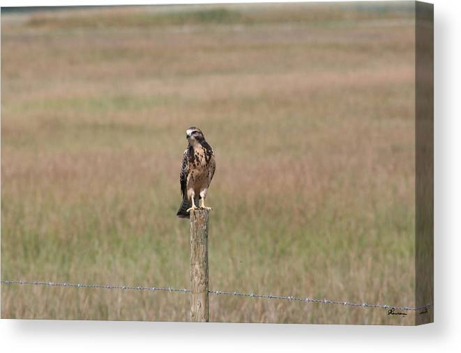 Hawk Wild Bird Nature Grass Fence Barbwire Flying Canvas Print featuring the photograph King Of His Domain. by Andrea Lawrence