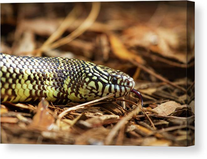 Nature Canvas Print featuring the photograph King Snake 2 by Arthur Dodd