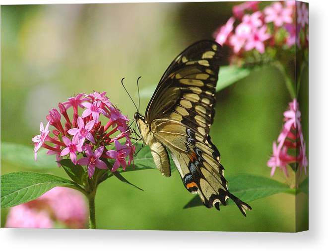 Butterflies Canvas Print featuring the photograph Lantana Taste by Robert Anschutz