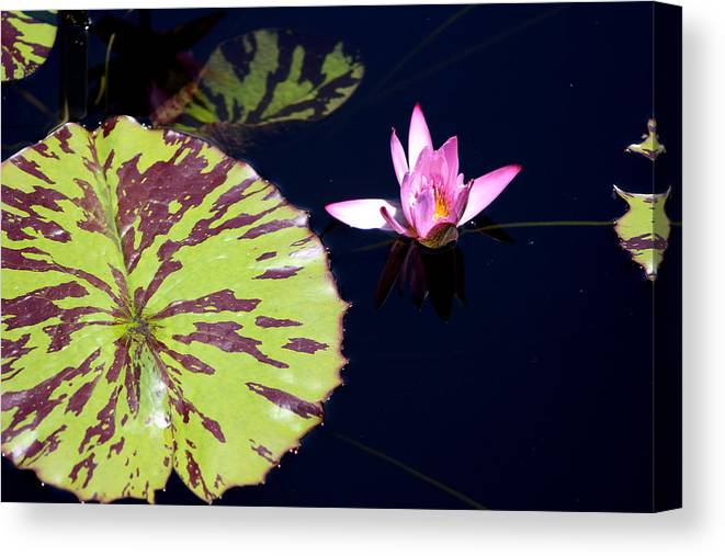 Lavender Rose Waterlily In Blue Charcoal Waters Canvas Print
