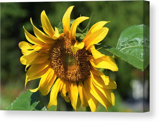 Sunflower Canvas Print featuring the photograph Lazy Days by Carrie Goeringer