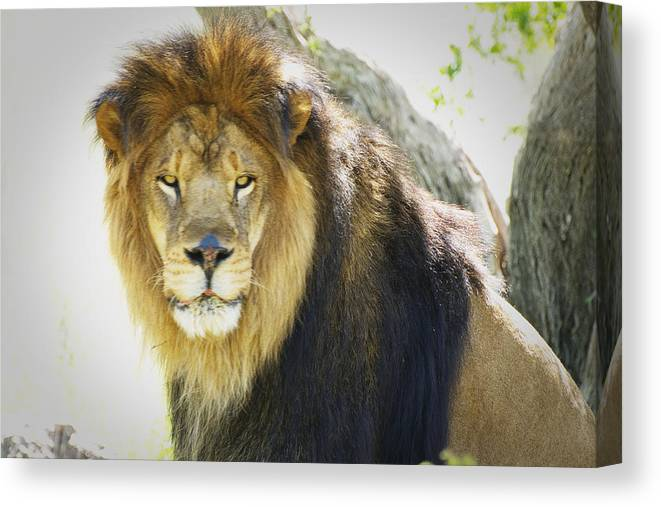 Lion Canvas Print featuring the photograph Leo by Richard Henne