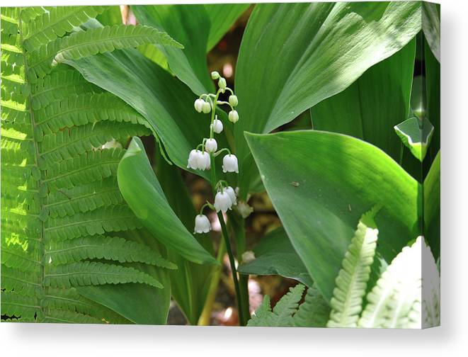 Lily Of The Valley Canvas Print featuring the photograph Lily Of The Valley II by Elek Gyorgy