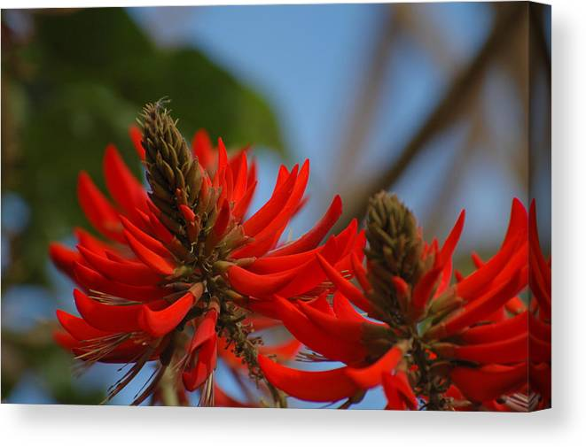 Coral Tree Canvas Print featuring the photograph Lipsticks On A Limb by Jean Booth