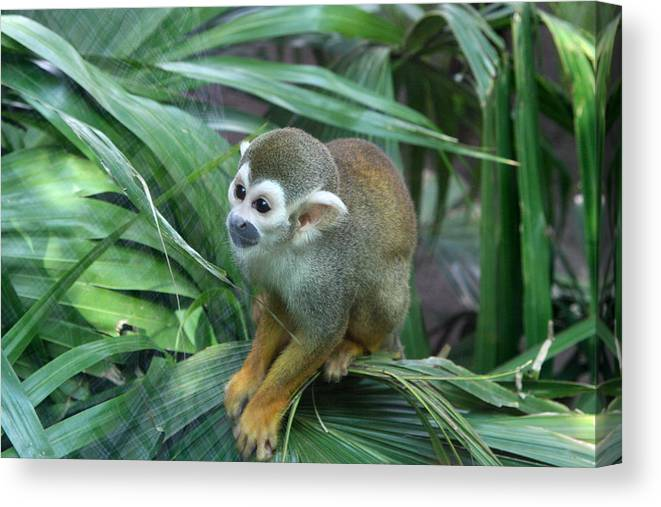Monkey Canvas Print featuring the photograph Lonely by Robert Green