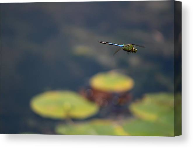 Malibu Blue Dragonfly Flying Over Lotus Pond Canvas Print