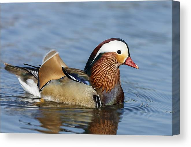 Birds Canvas Print featuring the photograph Manny Afloat by Michael Hampton