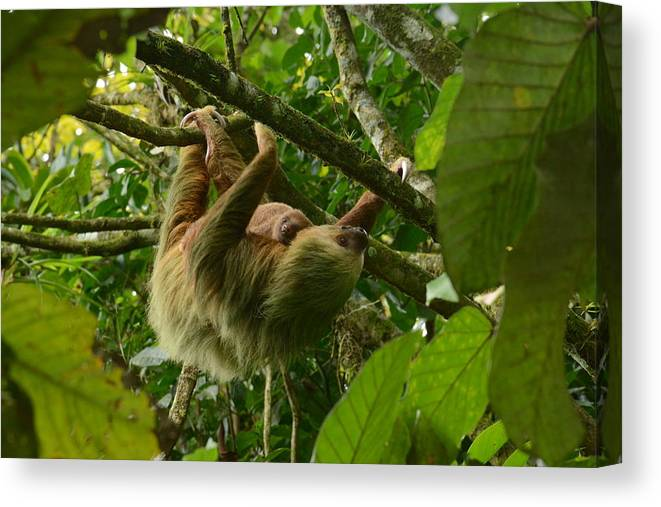 Sloth Canvas Print featuring the photograph Mom And Child by Sue Jarrett