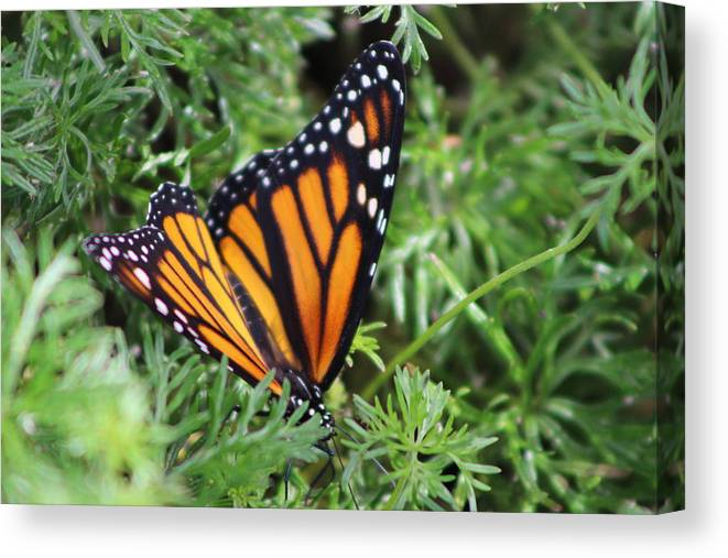 Monarch Butterfly Canvas Print featuring the photograph Monarch Butterfly In Lush Leaves by Colleen Cornelius