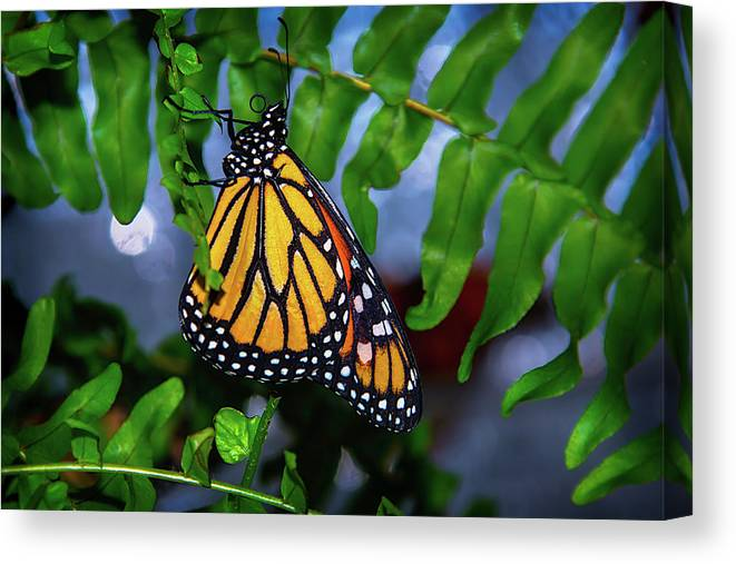 Hanging Canvas Print featuring the photograph Monarch Feeding by Garry Gay