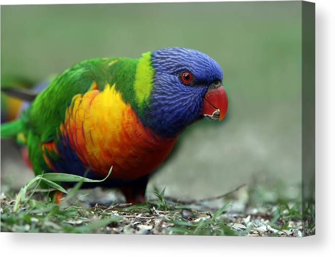 Lorikeet Canvas Print featuring the photograph Morning Snack by Lesley Smitheringale
