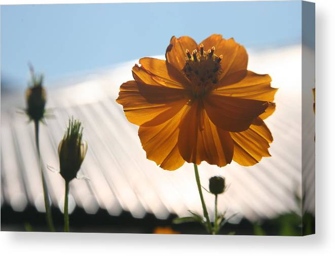 Orange Flower Sunlight Morning Bhutan Canvas Print featuring the photograph Morning Sunlight by Linda Russell
