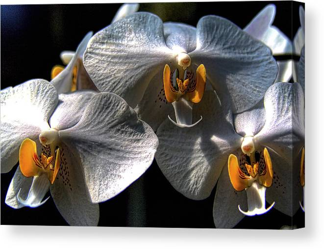 Orchid Canvas Print featuring the photograph Moth Orchids by David Patterson