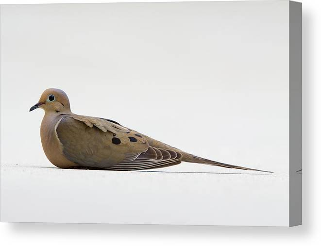 Dove Canvas Print featuring the photograph Mourning Dove by Shelly OBrien