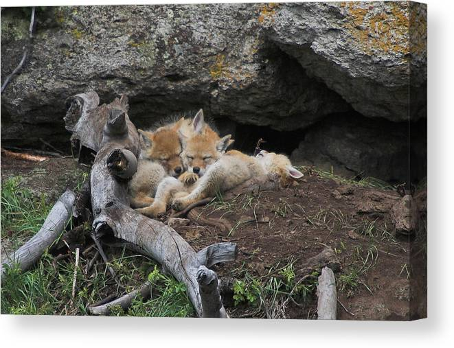 Coyote Canvas Print featuring the photograph Nap Time by Steve Stuller