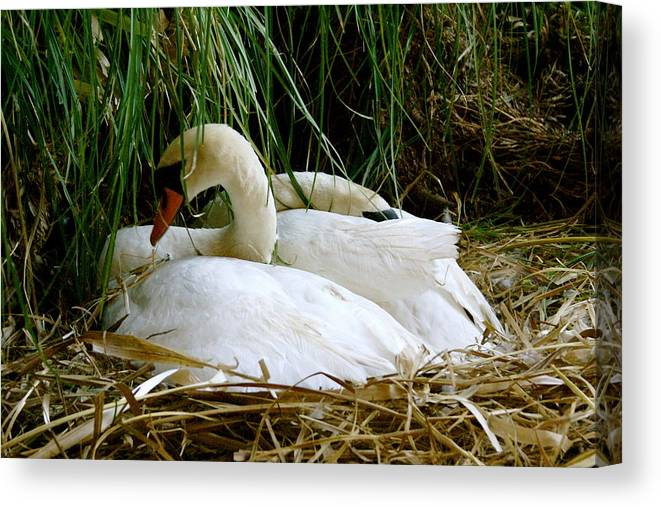Animals Canvas Print featuring the photograph Nesting Swans by Sonja Anderson