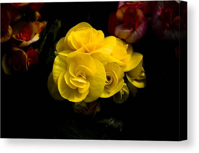 Begonia Canvas Print featuring the photograph Night Begonias Four by John Ater