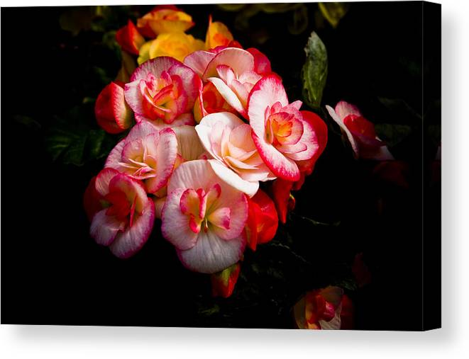 Begonia Canvas Print featuring the photograph Night Begonias Three by John Ater