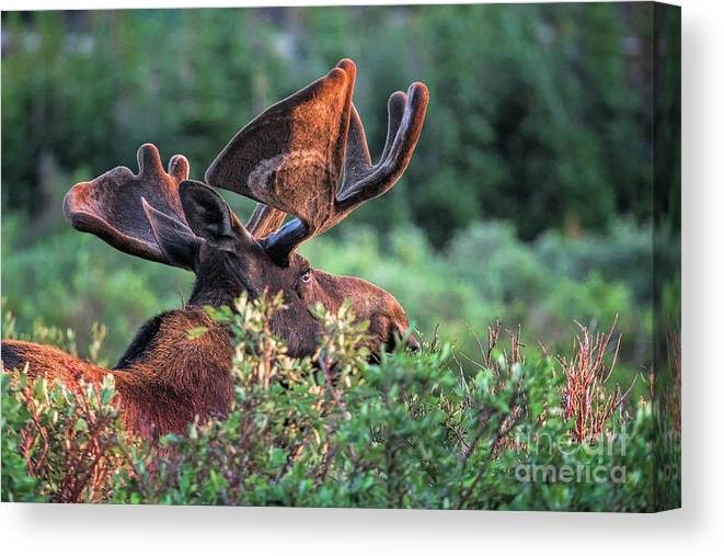 Moose Canvas Print featuring the photograph Oh Say Can You See by Jim Garrison