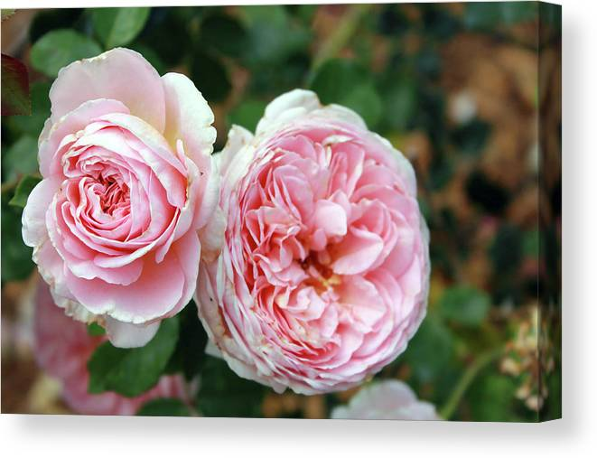 Flowers Canvas Print featuring the photograph Old Fashioned Rose by Mary Haber