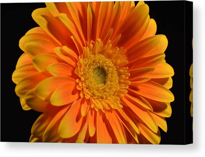 Gerber Daisy Canvas Print featuring the photograph Orange And Yellow Tip Gerbera Daisy by Peterson Photography