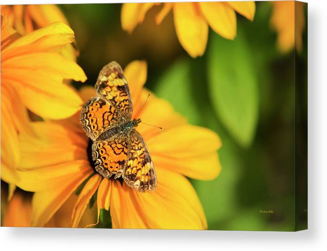 Pearl Crescent Butterfly Canvas Print featuring the photograph Orange Crescent Butterfly by Christina Rollo