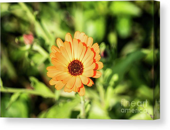 Orange Canvas Print featuring the photograph Orange Flower by Kevin Gladwell