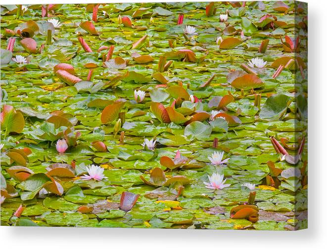 Lily Pads Canvas Print featuring the photograph Party At Kaloya Pond by Darrel Giesbrecht