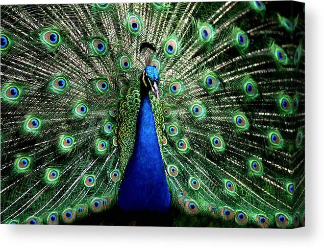 Peacock Canvas Print featuring the photograph Peacock by Dragica Micki Fortuna