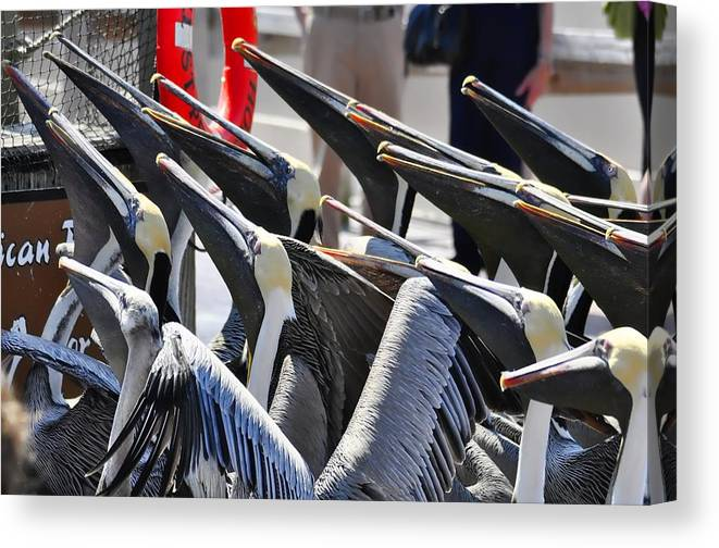 Pelican Canvas Print featuring the photograph Pelican Anticipation by Don McBride